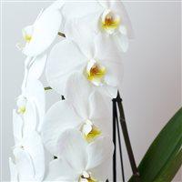 orchidee-formidablo-avec-cache-pot-200-7152.jpg