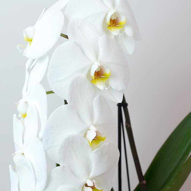 orchidee-formidablo-avec-cache-pot-750-7152.jpg