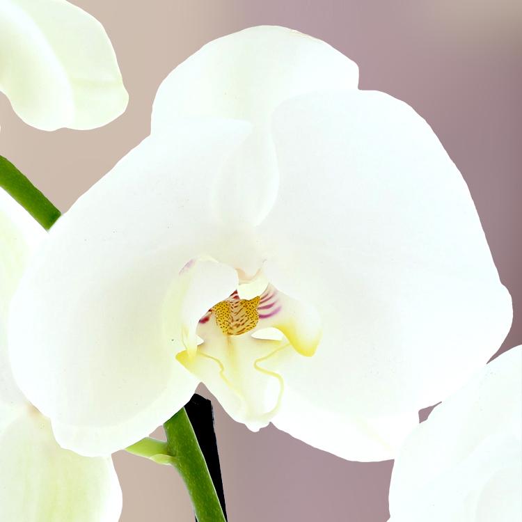 orchidee-fuchsia-750-2942.jpg