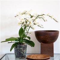 orchidee-multifleurs-200-5270.jpg