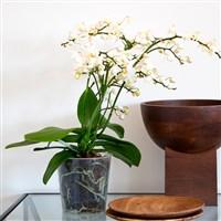 orchidee-multifleurs-200-6577.jpg
