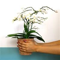 orchidee-multifleurs-et-son-cache-po-200-6579.jpg