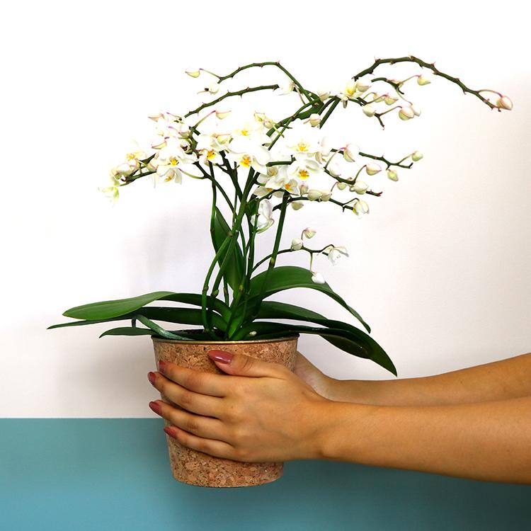orchidee-multifleurs-et-son-cache-po-750-6579.jpg