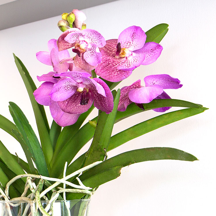 orchidee-vanda-lhassa-750-5272.jpg