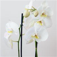 phalaenopsis-nevada-200-5263.jpg
