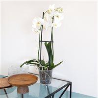 phalaenopsis-nevada-200-5264.jpg