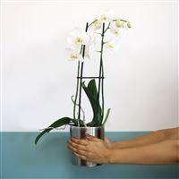 phalaenopsis-nevada-200-5388.jpg