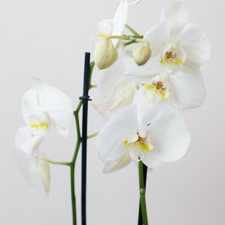 phalaenopsis-nevada-750-5263.jpg
