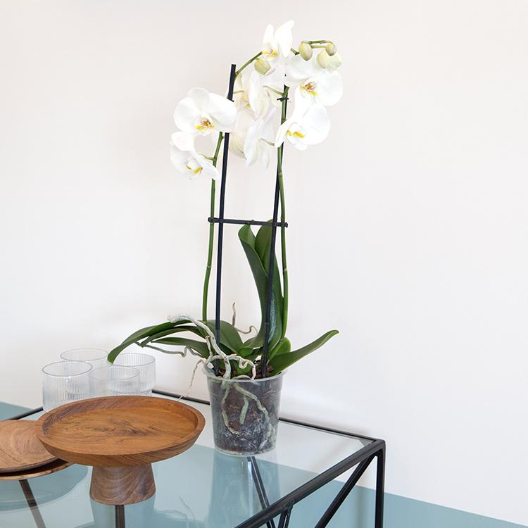 phalaenopsis-nevada-750-5264.jpg