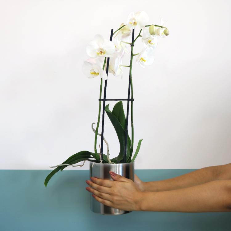 phalaenopsis-nevada-750-5388.jpg