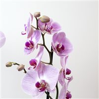 phalaenopsis-rose-200-5266.jpg