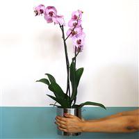 phalaenopsis-rose-200-5390.jpg