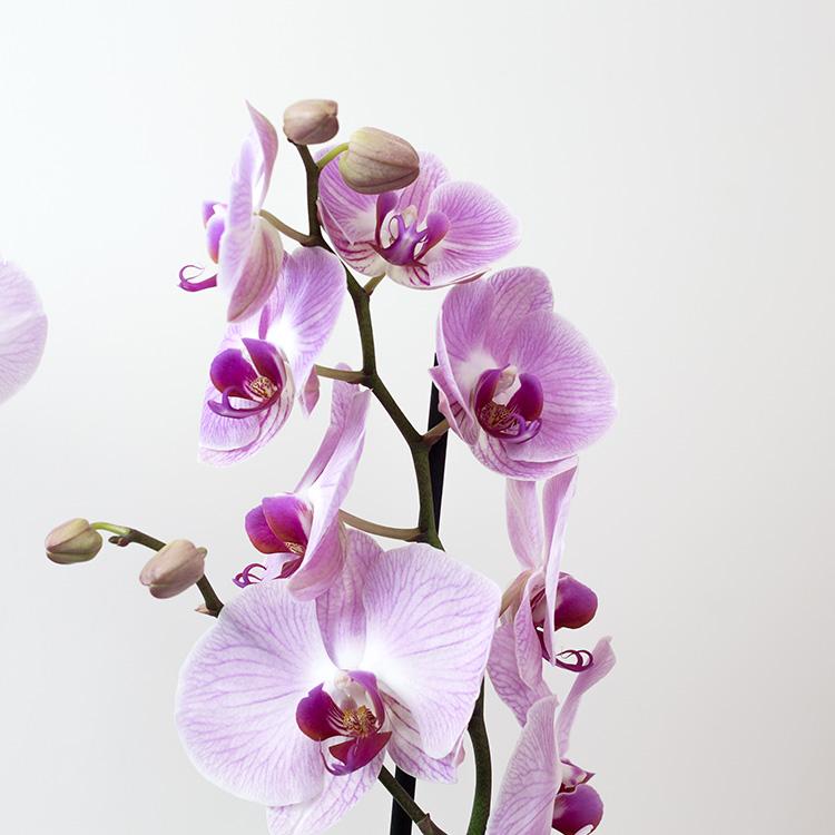 phalaenopsis-rose-750-5266.jpg