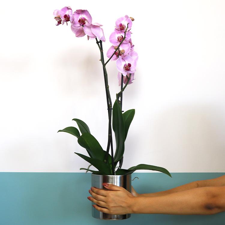 phalaenopsis-rose-et-son-cache-pot-750-5391.jpg