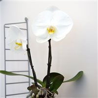 phalaenopsis-singolo-200-5277.jpg