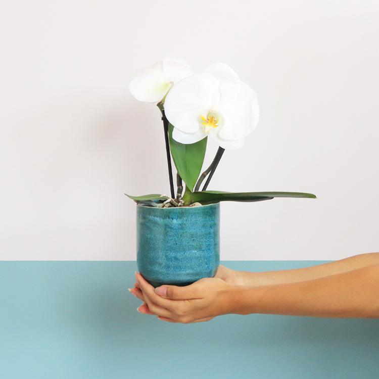phalaenopsis-singolo-200-5396.jpg