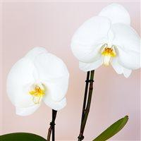 phalaenopsis-singolo-avec-cache-pot-200-7154.jpg