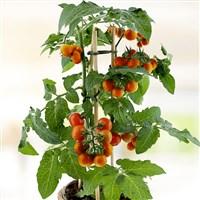 pied-de-tomates-cerises-200-4877.jpg