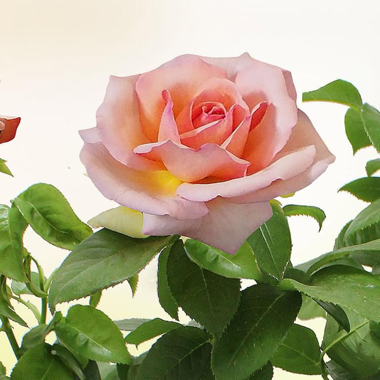 rosier-de-jardin-750-6635.jpg
