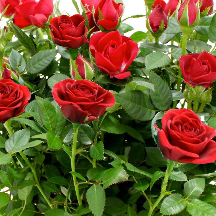 rosier-rouge-750-1971.jpg