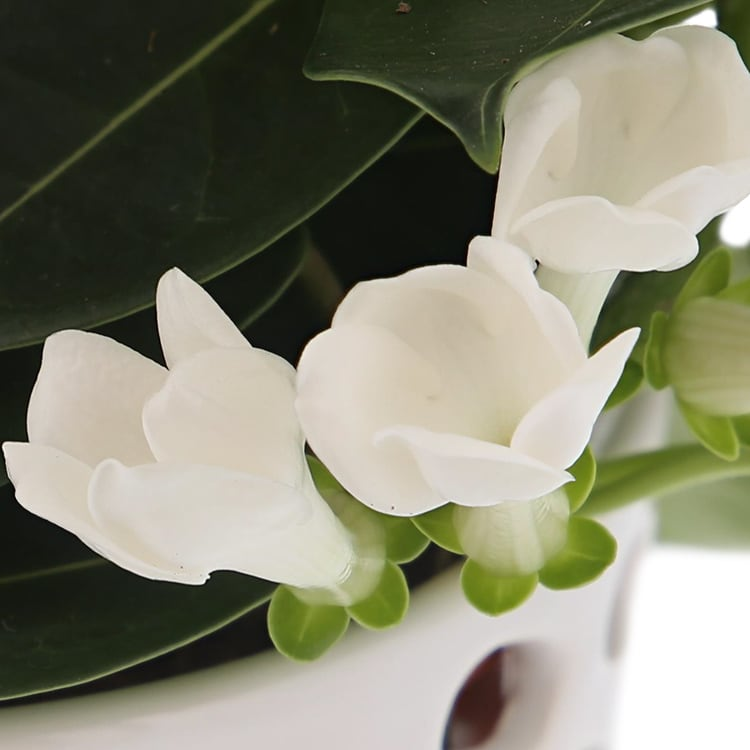 stephanotis-200-2798.jpg