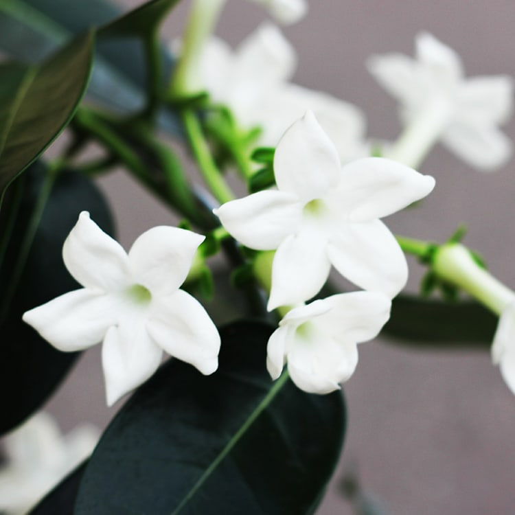 stephanotis-200-3874.jpg