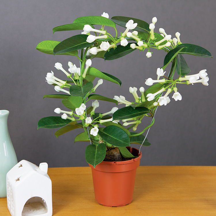 stephanotis-200-6587.jpg