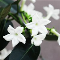 stephanotis-et-son-cache-pot-200-5194.jpg