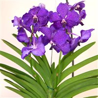 vanda-kyoto-en-suspension-200-5286.jpg