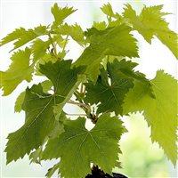 vigne-et-saint-emilion-200-4839.jpg