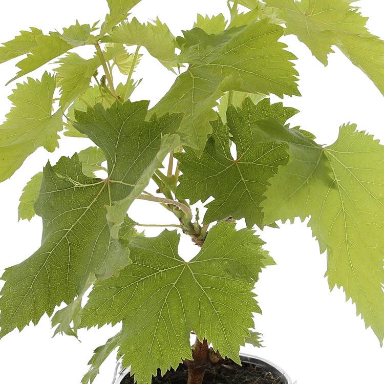 vigne-et-ses-orangettes-maxim-s-200-2454.jpg