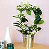 Stephanotis et son cache-pot