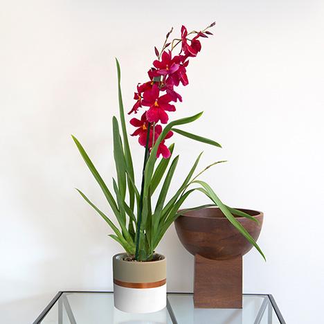 Cambria Nelly isler avec cache-pot L'orchidée rouge