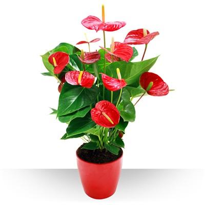 Anthurium rouge et son pot