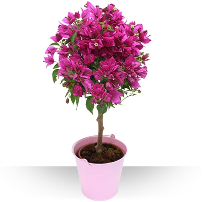 Spcial t bougainvillier for Culture du bougainvillier en pot