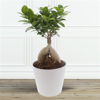 Ficus Ginseng - bebloom