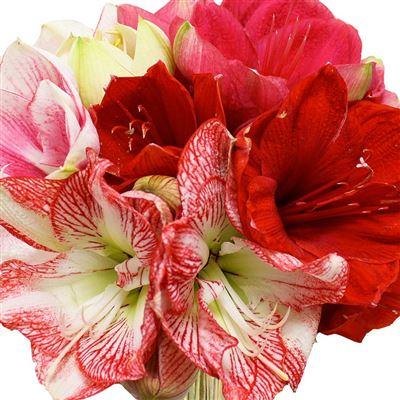 Livraison de fleurs par le fleuriste bebloom for Amaryllis fleuriste