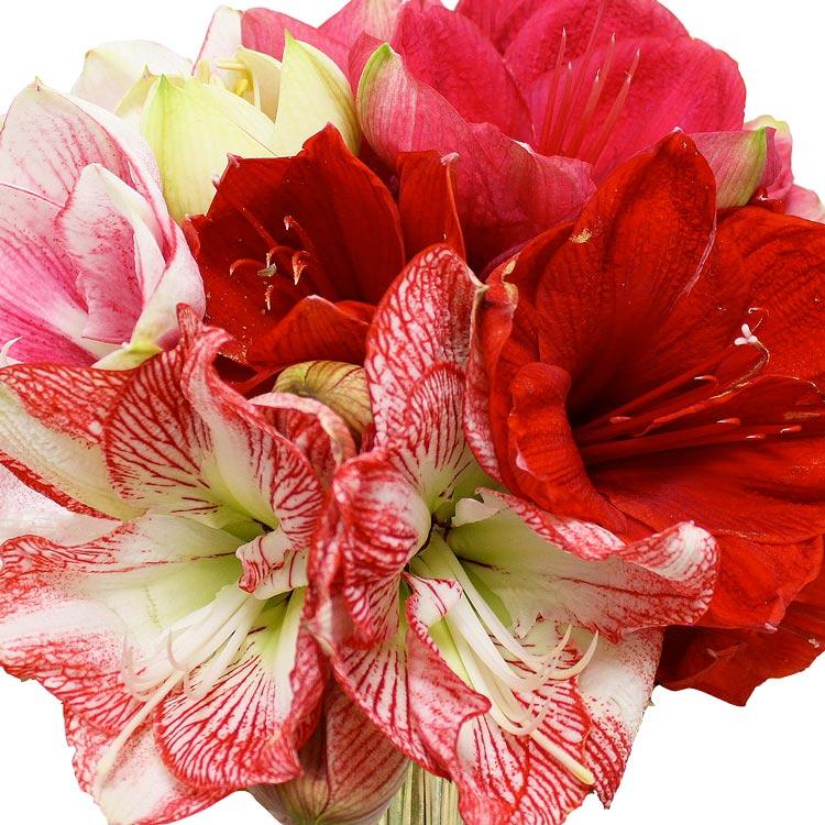Coffret naissance livraison fleurs naissance for Amaryllis en bouquet