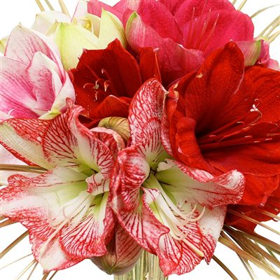 Livraison de fleurs avec le fleuriste for Amaryllis pour noel
