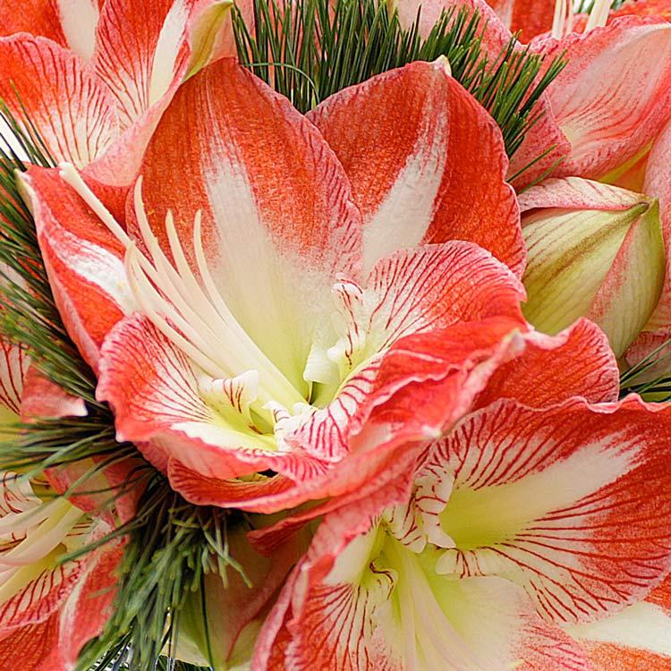 Coffret naissance livraison fleurs naissance for Amaryllis pour noel