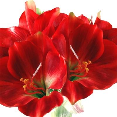 Fte des grand mres livraison de fleurs for Amaryllis en bouquet
