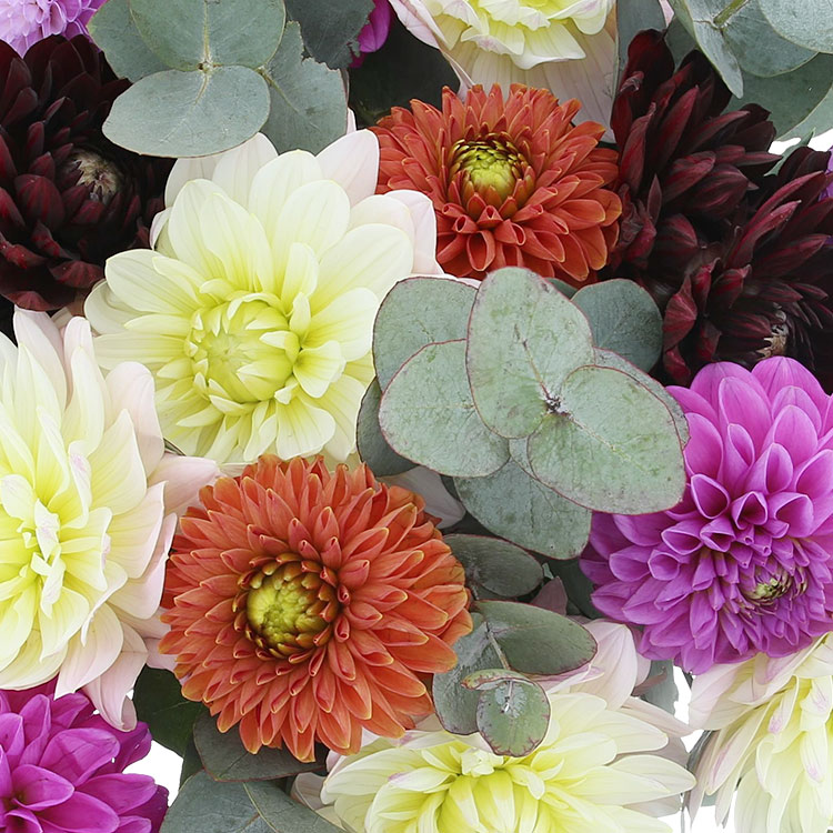 Bouquet de dahlias multicolores