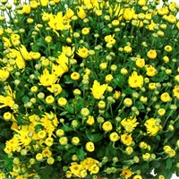 chrysantheme-200-895.jpg