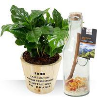 Surprenez avec ce pack original composé d'un caféier, une jolie plante tropic...