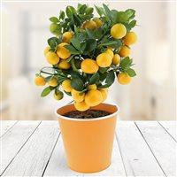 Avec ce Calamondin vous avez enfin le droit de passer à l'Orange. Riche en vitamines, il saura vous donner toute l'énergie dont vous avez besoin pour tenir toute la soirée, qu'elle soit (cala)mondaine, ou pas d'ailleurs.