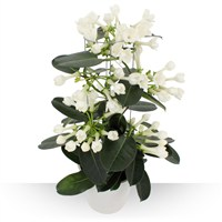 Plante appr�ci�e pour ses fleurs blanches, cireuses et d�licatement parfum�es...