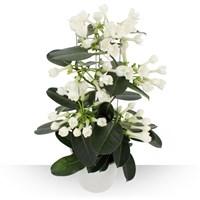 Plante appréciée pour ses fleurs blanches, cireuses et délicatement parfumées...