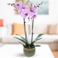 Orchidee Fuchsia - bebloom