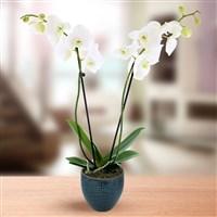 Plantes : Orchidee Blanche - bebloom