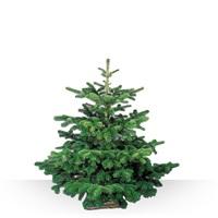 Sapin de Noël Nordmann, taille comprise entre 1m25 et 1m50 avec son socle pou...